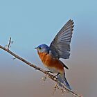Bluebird by photosbyjoe