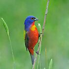Painted Bunting by photosbyjoe
