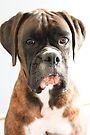 Luthien's Portrait Boxer Dogs Series- by Evita