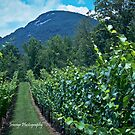 Yonah Mountains Vineyards by jenseye