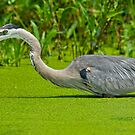 Great Blue Heron  by Daniel  Parent