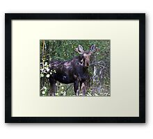 The young bull moose is back Framed Print