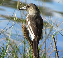 Butcher Bird by Donna Keevers Driver