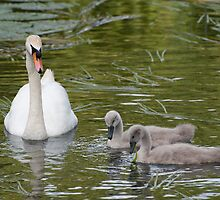 Swan & Cygnets by Christopher Cullen