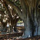 Morton Bay Ficus by Eve Parry
