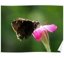 Common Sootywing (Pholisora catullus) Poster