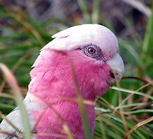 Galah hiding in the grass by Angie66