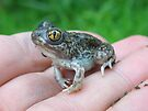 First Spadefoot In Kansas by Carla Wick/Jandelle Petters