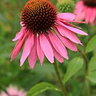 Echinacea Purpurea (Rubinstern) by Tom Curtis