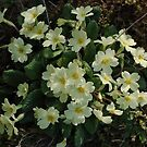 A patch of primroses by Conor Donaghy