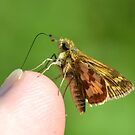 A Grass Skipper Cleaning Under My Fingernails by William Brennan