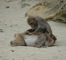 Two Monkeys Grooming each other on Kojima Island by Sunny Shaffner