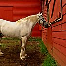 White horse/Red barn by cclaude