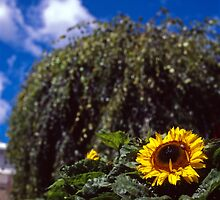 Sunflower, Royal Tasmanian Botanical Gardens by Brett Rogers