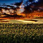 Sunflower Field by LudaNayvelt