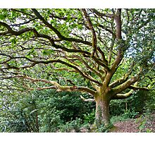 Wild Oak at Portmeirion Photographic Print