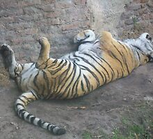 Sleeping Tiger by shannonmarie4
