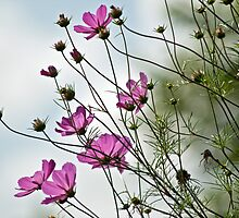 Pink cosmos flowers by Esther  Moliné