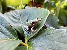 Tree Frog in Strawberry Patch by Barberelli