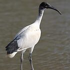 Juvenile Australian White Ibis, South Australia  by Carole-Anne