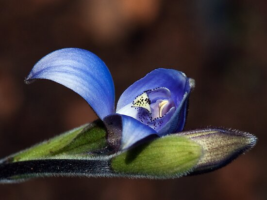 Blue Orchid- Perth Hills by Gerrart
