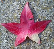 Maple Leaf on Concrete by anishell