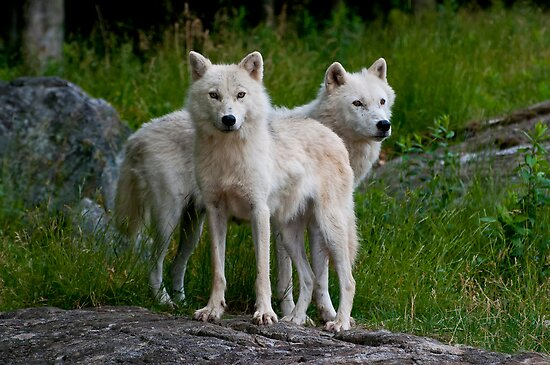 Arctic Wolf Pair by Michael Cummings