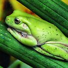 GREEN TREE FROG by Johan  Nijenhuis
