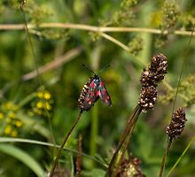 Six Spot Burnet Moth  by stay-focussed