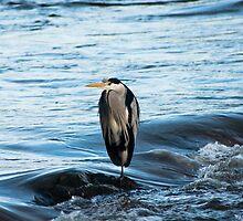Animal, Bird, Grey Heron, Ardea cinerea by Hugh McKean