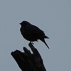 Silhouette Bird by bannercgtl10