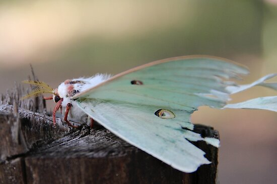 Luna Moth by NatureGreeting Cards ©ccwri