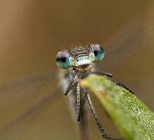 Emerald damselfly macro by Jon Lees