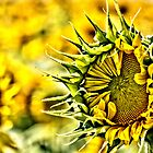 Baby Sunflower  by LudaNayvelt