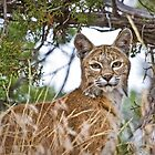 Diamond Mountain Bobcat by Kim Barton