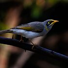 Noisy Miner 2 by Anna Ryan
