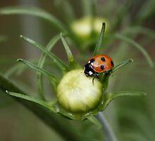 Ladybird on Cosmos Bud by AnnDixon