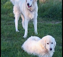 The Beautiful Maremma Sheepdog by ariete