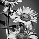 Garden Sunflowers Black and White by Carolyn Chentnik