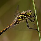 Black Darter by Jon Lees