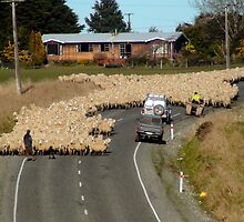 Is This A 65km Zone?..Moving Sheep - NZ by AndreaEL