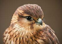 Merlin (Falco columbarius) by Steve  Liptrot
