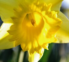 Daffodil by Jessica Hooper