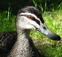 Pacific Duck hoping ive got some food for him by Angie66
