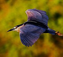 0326111 Black Crowned Night Heron by Marvin Collins