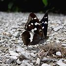 Lesser Purple Emperor by SophiaDeLuna