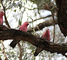 The Galah Group by yolanda