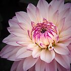 Delicate Dahlia by vivsworld