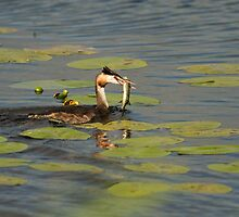 Great Crested Grebe with Pike by kernuak