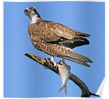 Osprey with catch(Licking my lips in anticipation!) Poster